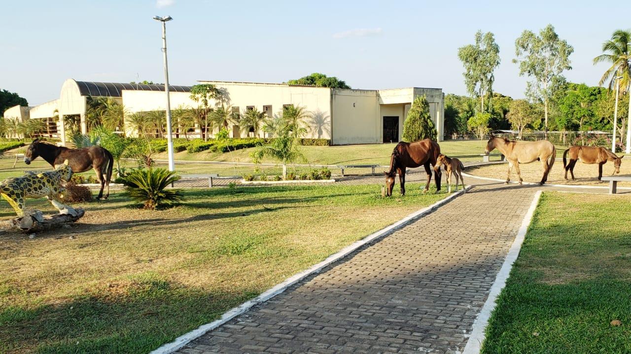 Cavalo, mulas e até um potrinho são flagrados passeando e pastando em praça central de Guaraí