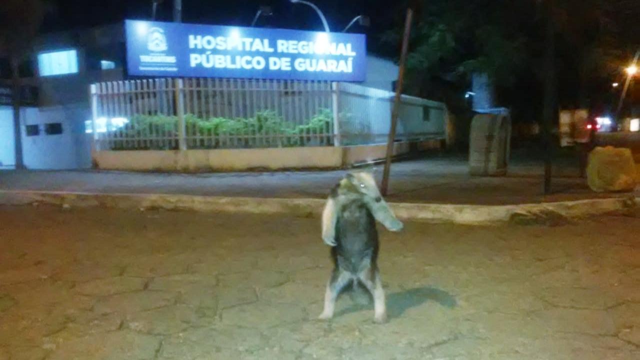 Tamanduá-mirim rouba a cena ao ser flagrado passeando nas proximidades do Regional de Guaraí